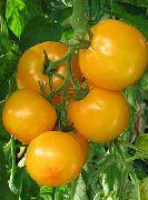 фото Садко f1 помидоры и томаты