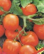 фото Увалень помидоры и томаты