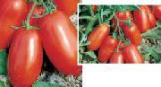 фото Улиссе F1 помидоры и томаты