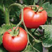 фото Салар F1 помидоры и томаты