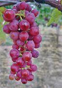 фото Ванесса виноград