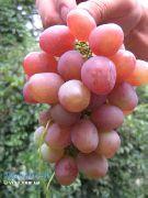 фото Вероника виноград
