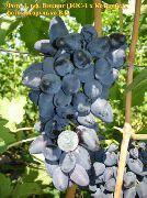 фото Викинг виноград