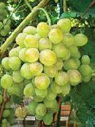 фото Восторг виноград