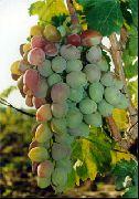 фото Восторг красный виноград
