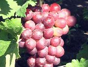 фото Кардинал устойчивый виноград