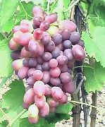 фото КарМаКод виноград