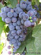 фото Кишмиш Черный султан виноград