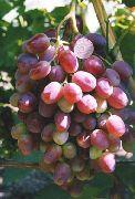 фото Шахиня Ирана (Слава Молдавии) виноград