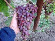 фото Оригинал виноград