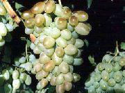 фото Кантемировский виноград