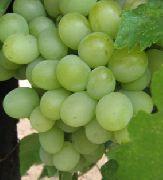 фото Александрит виноград