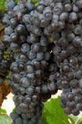 фото Неретинский  виноград