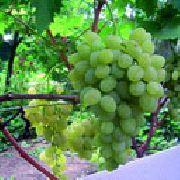 фото Восторг овальный  виноград