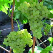 фото Кишмиш №342  виноград