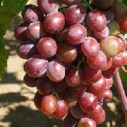 фото Вишенка виноград