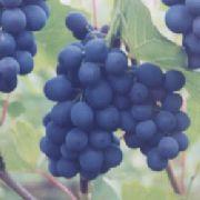 фото Шахтер виноград