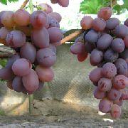 фото Низина виноград