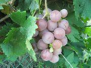 фото Шуня виноград