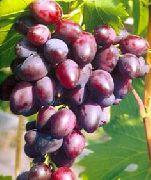 фото Кинг Руби виноград