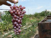 фото Кишмиш Аксайский виноград