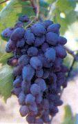 фото Алма-Ата 9 виноград