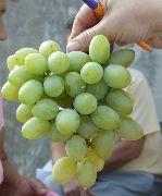 фото виноград Вера сорта, , саженцы и семена