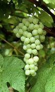 фото Кишмиш Химрод виноград