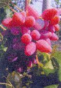 фото Олимпик виноград