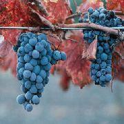 фото Каберне Северное виноград
