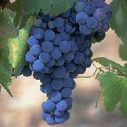 фото Неро  виноград