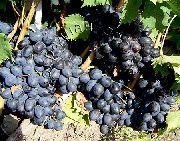 фото Осенний чёрный виноград