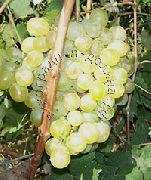фото Нимранг виноград