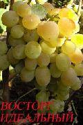 фото виноград Восторг идеальный сорта, , саженцы и семена