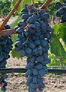 фото Кишмиш Аттика виноград
