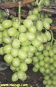 фото Кишмиш Принцесса виноград