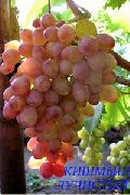 фото Кишмиш лучистый виноград