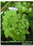 фото Алешенькин виноград
