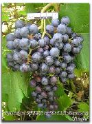 фото Альфа виноград