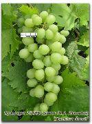 фото Аметист белый виноград