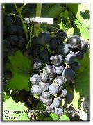 фото Катыр виноград