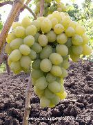 фото Августин виноград