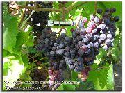 фото Кишмиш уникальный виноград