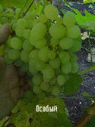 фото виноград Особый сорта, , саженцы и семена