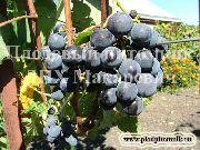 фото Вильдер виноград