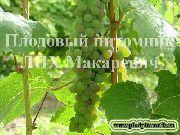 фото Канадик (Канадис) виноград