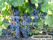 фото Адель виноград