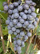 фото Восторг Черный виноград