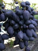 фото Надежда АЗОС виноград