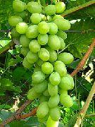 фото Новый подарок Запорожью виноград